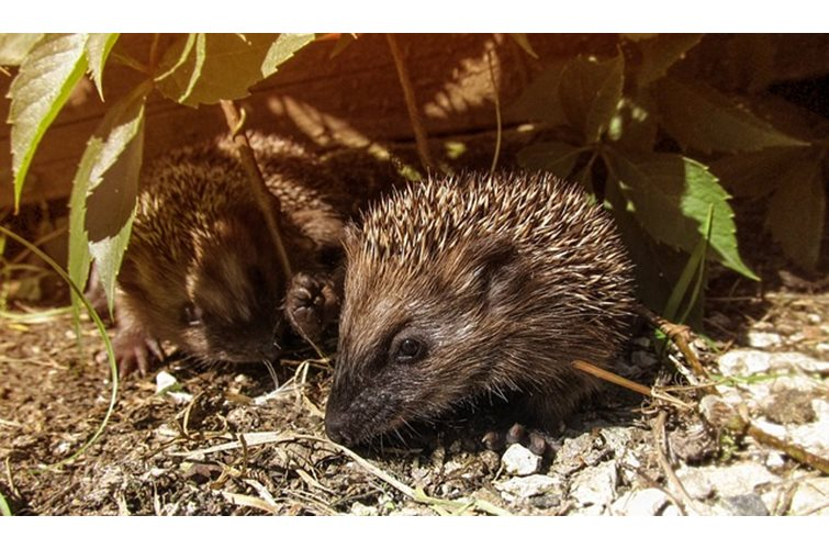 Hedgehogs- Keep Death Off Of The Road