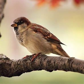 view Tree Sparrow products